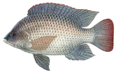 پرورش ماهی تیلاپیا