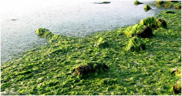 تولید سوخت زیستی از جلبک های دریایی