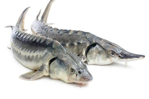 طرح توجیهی پرورش ماهی خاویار