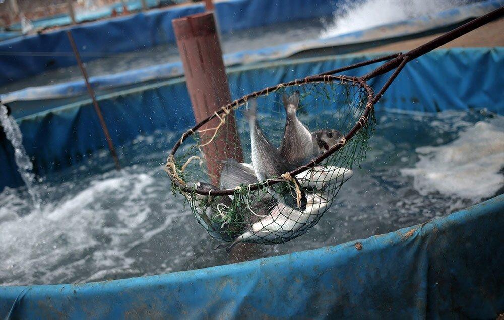 طرح توجیهی پرورش ماهی خاویاری